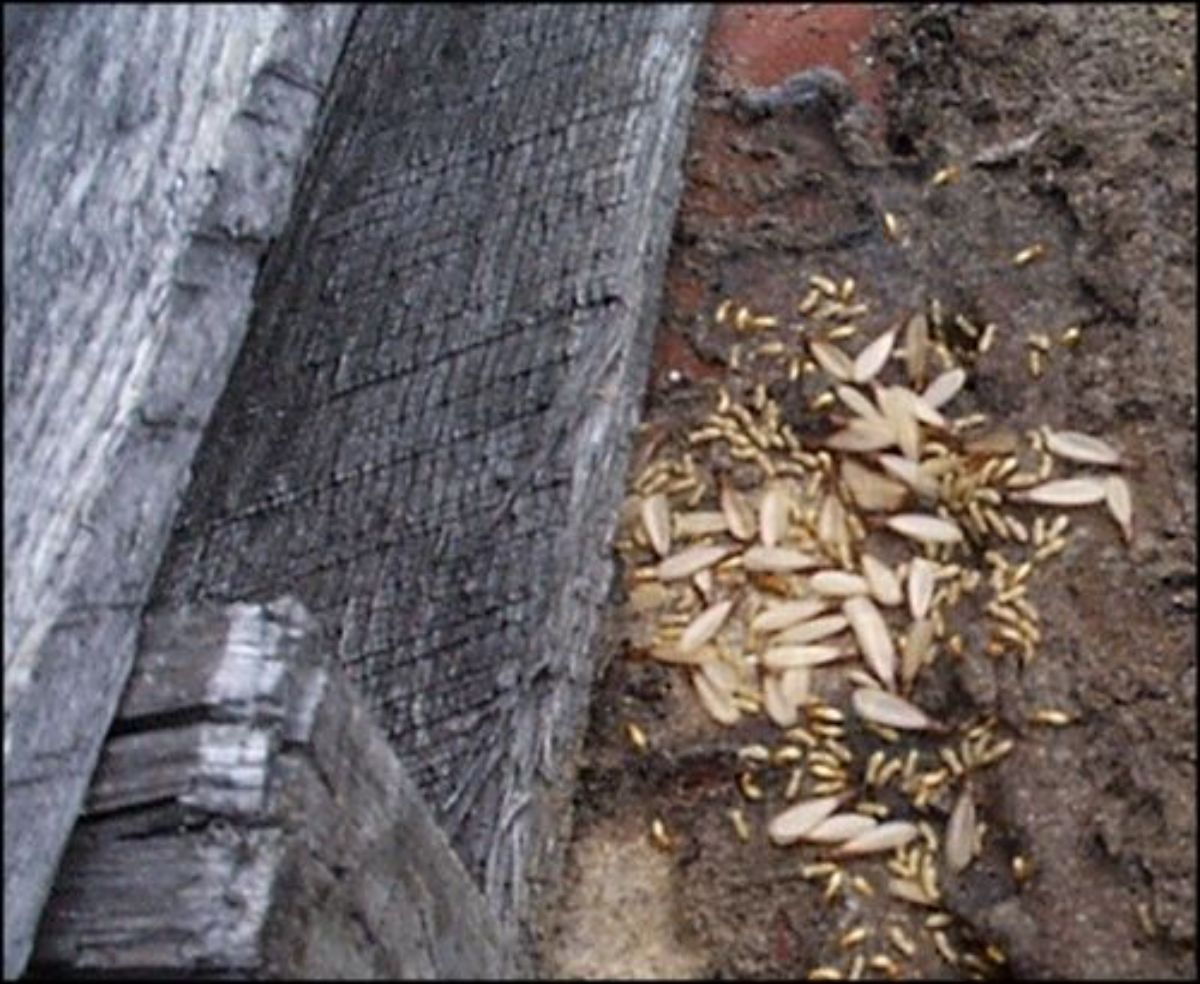 Termite signs on wood